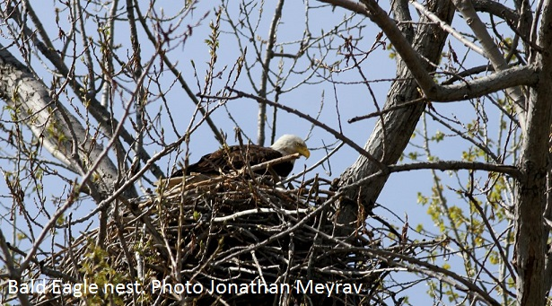 Bald Eagle nest Jonathan Meyrav
