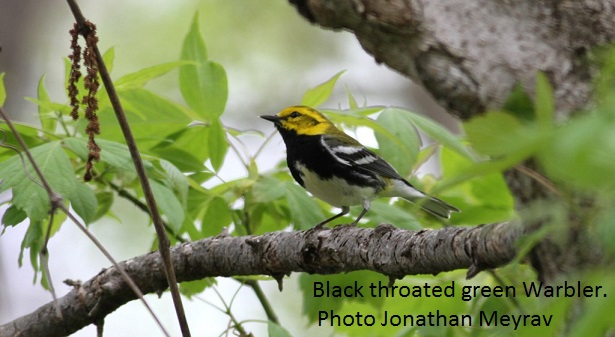 Black throated green Warbler Jonathan Meyrav