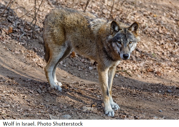 Wolf in Israel