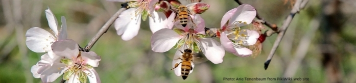 Almond in bloom Photo: Arie Tenenbaum from PikiWiki  web site