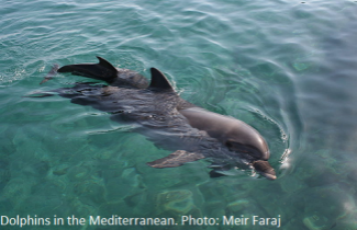 Dolphins in the Mediterranean.Photo: Meir Faraj
