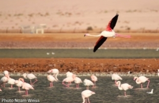 Flamingos, Eilat. Photo Noam Weiss