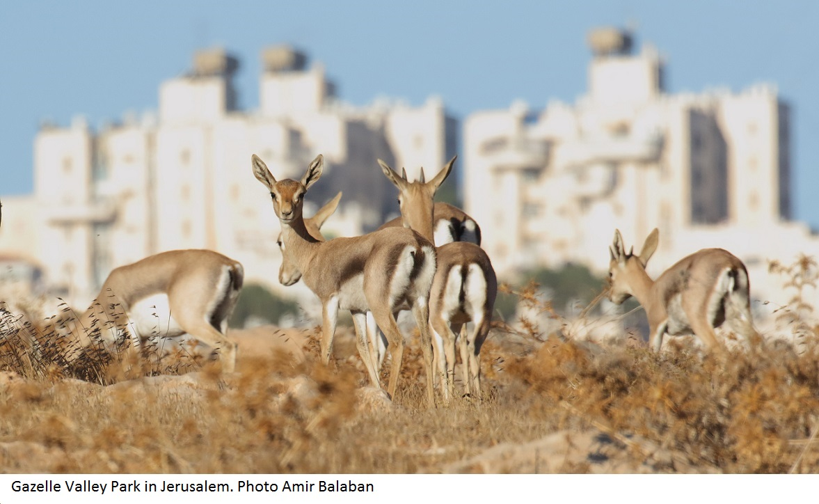 Gazelles in Jerusalem. Photo Amir Balaban