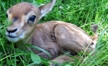 gazelle fawn sitting in grass