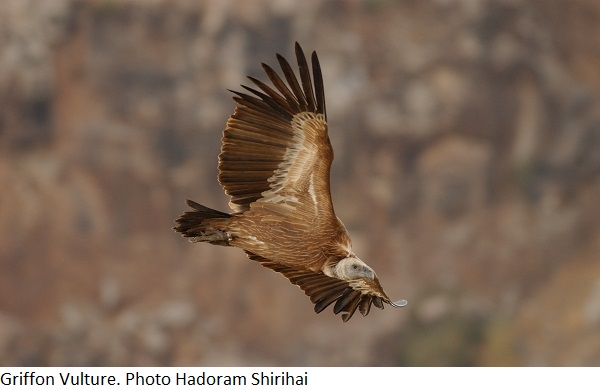 Griffon Vulture. Photo Hadoram Shirihai