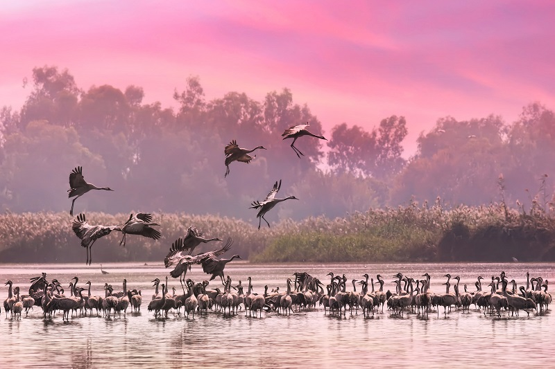 Hula Valley Cranes. Photo Shutterstock