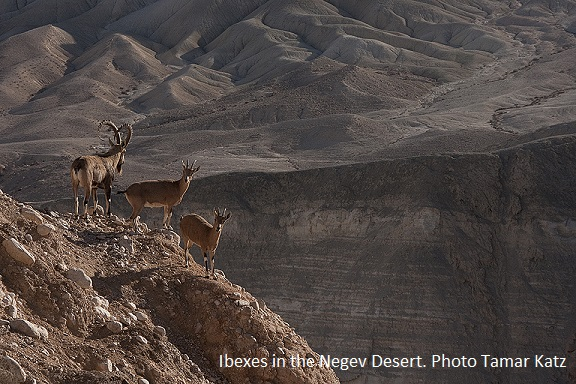 Ibexes in the Negev desert Tamar Katz