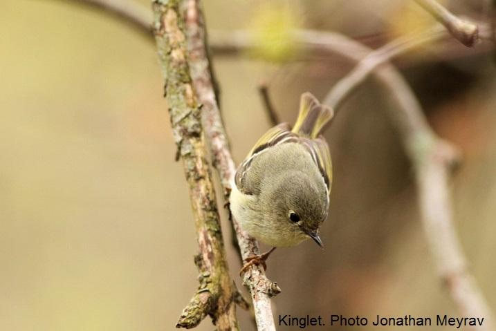 Kinglet. Photo Jonathan Meyrav
