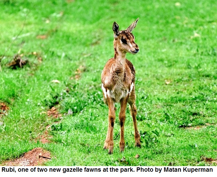 Rubi one of two new gazelle fawns at the park. Photo: Matan Kuperman