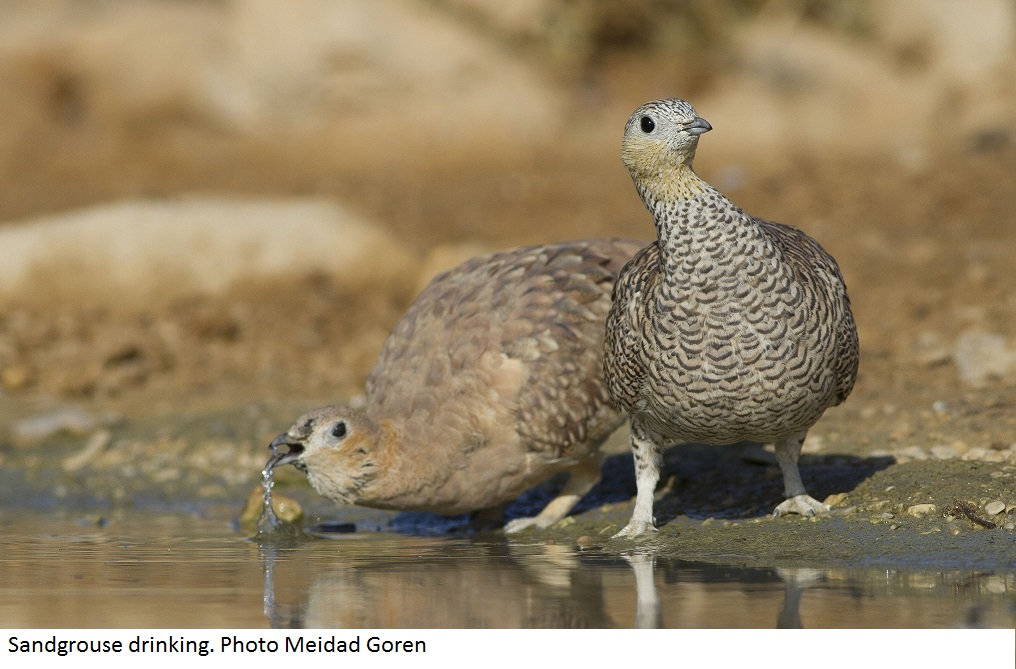Sandgrouse drinking. Photo Meidad Goren