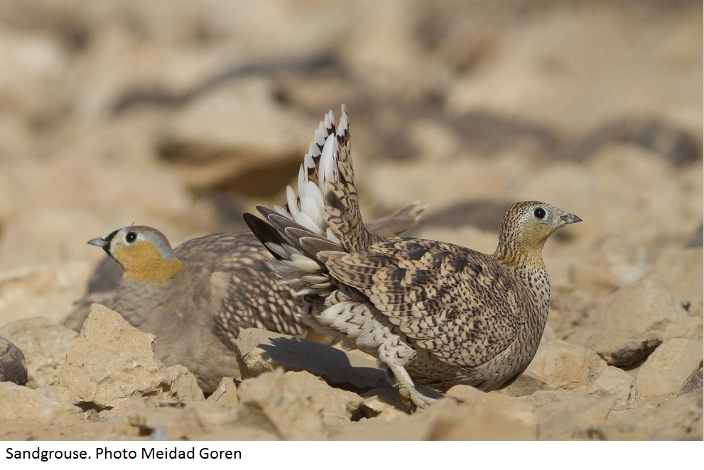 Sandgrouse in Israel. Photo Meidad Goren