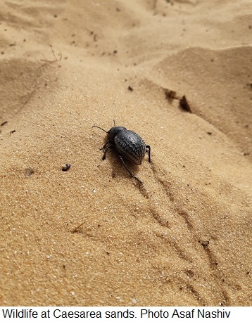 Wildlife at Caesarea sands. Photo Asaf Nashiv