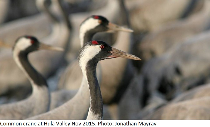 Common crane at Hula Valley Nov2015 Photo: Jonathan Mayrav