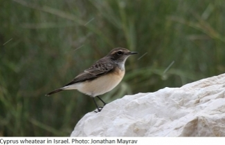 Cyprus wheatear in Israel. Photo: Jonathan Mayrav