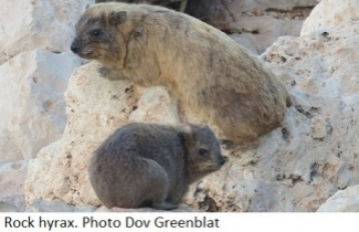Rock Hyrax. Photo Dov Greenblat