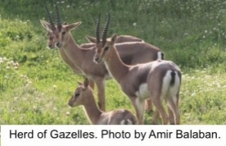 Herd of Gazelles in Gazelle Valley Park. Photo by Amir Balaban.